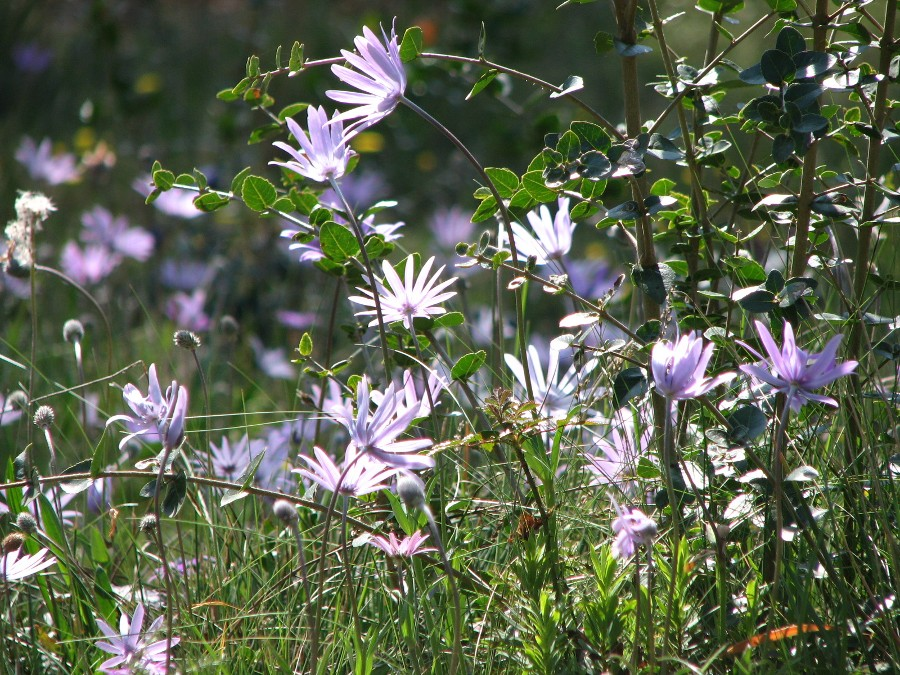anemone hortensis ou anemone des jardins