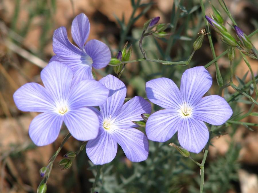 """Résultat de recherche d'images pour """"fleurs bleues sauvages"""""""