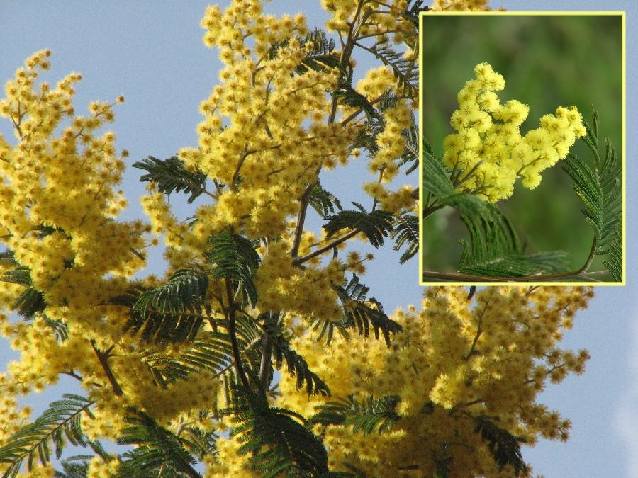 fleurs jaunes plantes et fleurs sauvages du var et de provence. Black Bedroom Furniture Sets. Home Design Ideas